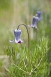 Sugar Bowl Plants  Clematis Hirsutissima  in the Bridger Mountains  Montana
