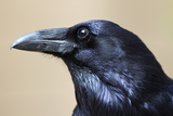 Close Up Portrait of a Common Raven  Corvus Corax
