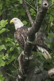 A Bald Eagle  Haliaeetus Leucocephalus  with a Freshly-Caught Fish from the Occoquan River