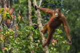 A Bornean Orangutan  Pongo Pygmaeus  Swinging from a Tree Trunk