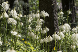 A Huge Bloom of Bear Grass Glows in the Sunshine in the Forest Near Glacier National Park