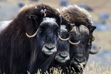 A Trio of Musk Ox Gather Together in Defensive Position on the Tundra Displaying their Horns