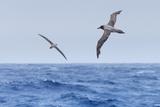 Two Light-Mantled Albatross in Flight in the South Shetland Islands  Antarctica