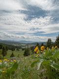 Arrowleaf Balsamroot Flowers Bloom on a Hillside in Montana's Bridger Mountains  Near Bozeman