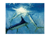 Four Leaping Striped Marlin and Pacific Herring: Striped Marlin Encircle a School of Herring