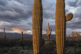 Sunset Illuminates Saguaro Cacti in Saguaro National Park During an Approaching Storm