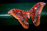 Close Up Portrait of a Saturnid Moth  Saturniidae