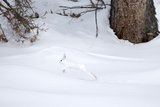 A Snowshoe Hare  Lepus Americanus  Leaping Through a Snowy Landscape