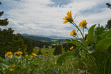 Arrowleaf Balsamroot Flowers Bloom on a Hillside in Montana's Bridger Mountains  Near Bozeman