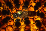 Encircled by Nurse Bees  a Queen Honeybee  Apis Mellifera  in an Experimental Mite-Resistant Colony