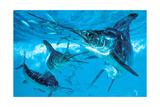 Three White Marlin and Mackerel