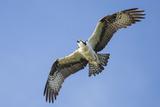 An Osprey  Pandion Haliaetus  in Flight in a Clear Blue Sky