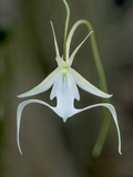 An Endangered Ghost Orchid at Fakahatchee Strand Preserve State Park  Florida Wildlife Corridor