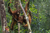 Two Bornean Orangutans  Pongo Pygmaeus  Swinging Through the Tree Tops