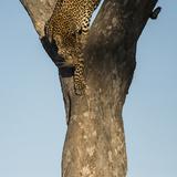 A Female Leopard Climbing Down a Tree Trunk