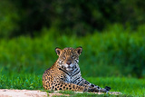 A Portrait of a Wild Jaguar Resting on the Banks of the Cuiaba River  in the Pantanal