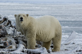 A Polar Bear Feeds on a Whale Carcass in Kaktovik  Alaska