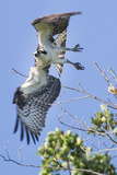 An Osprey  Pandion Haliaetus  Takes Flight from a Tree Branch