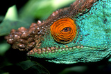 Close Up Portrait of a Male Parson's Chameleon  Callumma Parsonii