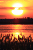 The Sun Rises and Paints the Water  and Silhouettes Invasive Phragmites  Phragmites Australis