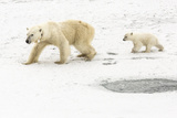 A Polar Bear  Ursus Maritimus  and Her Cub the Mother Bear Wears a Radio Tracking Collar