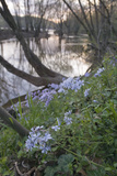 Spring Phlox Along the Potomac River Inside the Beltway on the Maryland Side