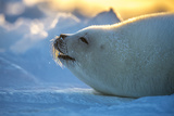 A Harp Seal Pup Rests at the Iles De La Madeleine in the Gulf of Saint Lawrence