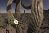 Close Up of a Saguaro Cactus in Bloom in Alamo Canyon  in the Ajo Mountains