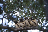 Four Coquerel's Sifaka Lemurs  Propithecus Coquereli  Sitting on a Tree Branch