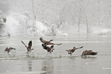 Canada Geese Taking Off from the Potomac River in a Snowy Landscape