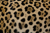 Close Up of the Fur of a Jaguar  Panthera Onca