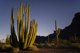 A Night Photo of an Organ Pipe Cactus in Organ Pipe National Monument  Arizona