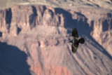 A Raven in Flight on a Thermal Above the South Rim of the Grand Canyon