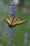 A Swallowtail Butterfly Feeds on Flower Nectar in a Xeriscape Garden in Bishop  California