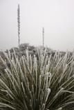 Rime Ice from a Winter Storm Coats the Sotol Plant  the Iconic Plant of Big Bend National Park