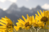 Arrowleaf Balsam Root  Balsamorhiza Sagittata  Flowers Grow in Grand Teton National Park
