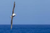 A Black-Browed Albatross in Flight over Blue Water in Drake Passage  Antarctica