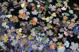 Fallen Leaves Floating in a Pond in Forest in the Santa Catalina Mountains