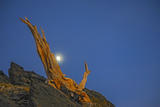 The Moon Rises Behind an Ancient Bristlecone Pine Snag  High in the White Mountains  California