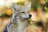 Close Up Portrait of a Coyote Pup  Canis Latrans