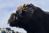The Long Shaggy Mane and Pointed Horns of an Alert Musk Ox