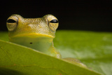 Portrait of a Granular Glass Frog  Cochranella Granulosa