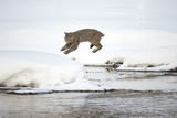 A Bobcat  Lynx Rufus  Leaping from One Snowy River Bank to Another