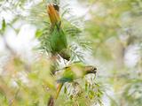 Two Maroon-Bellied Parakeets Feeding in a Tree in Ubatuba  Brazil