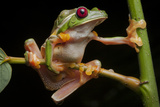 Portrait of Gliding Tree Frogs  Agalychnis Spurrelli  Mating
