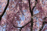 A Hybrid Cherry Tree in Spring it Is a Cross Between Prunus Subhirtella and Prunus Yedoensis
