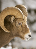 A Male Bighorn Sheep  Ovis Canadensis  in the Rocky Mountains