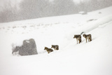 A Pack of Coyotes  Canis Latrans  in a Snowy Landscape