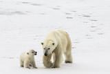 A Polar Bear  Ursus Maritimus  and Her Cub