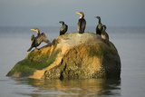 Five Double-Crested Cormorants  Phalacrocorax Auritus  on a Rock